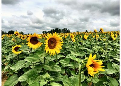 Sunflowers, Francescas, Lot-et-Garonne