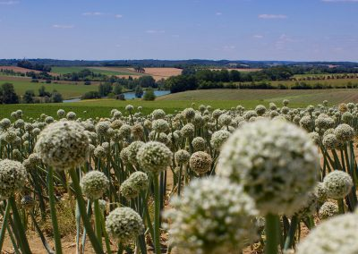 Garlic, Lot-et-Garonne