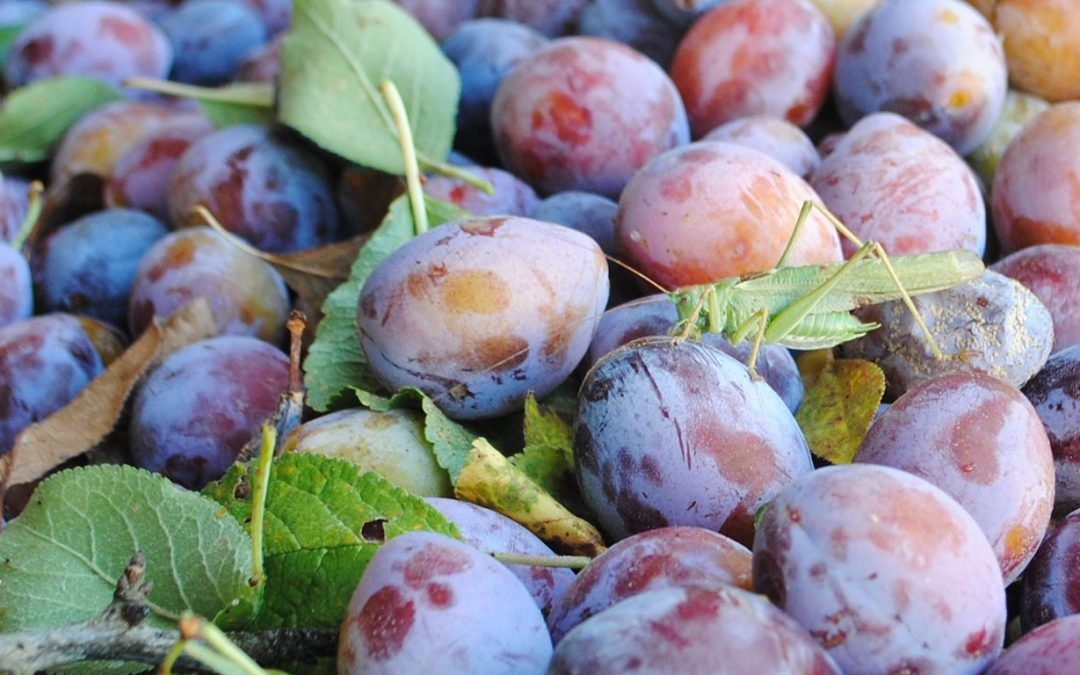 Artist Sarah Gittins Celebrates Plums & Local Hospitality